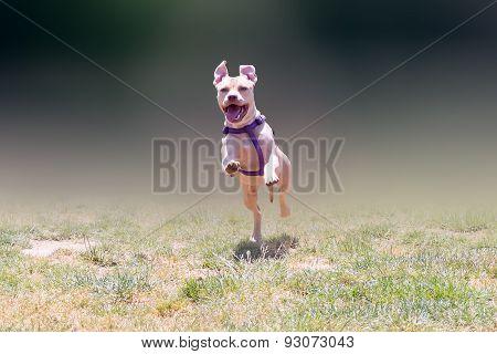 Happy American pit bull terrier running.