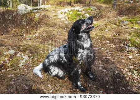 Spaniel In Forest On The Hunt