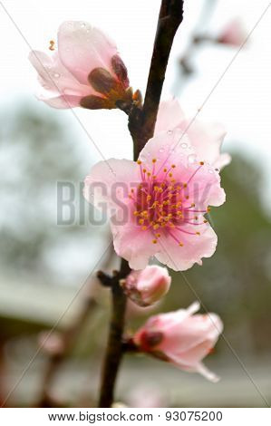 Pink Peach Blossoms On Branch In Rain