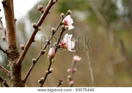 Closeup Of A Peach Tree In Bloom