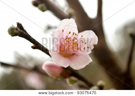 Peach Blossom In Rain