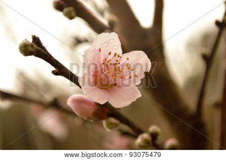 Peach Blossom, Antique Look