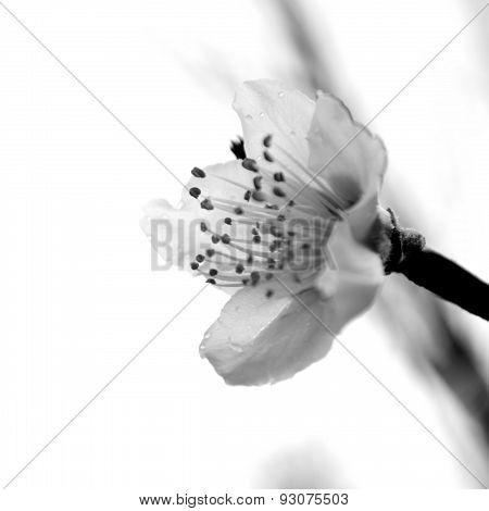 Square Black And White Of A Peach Blossom Profile