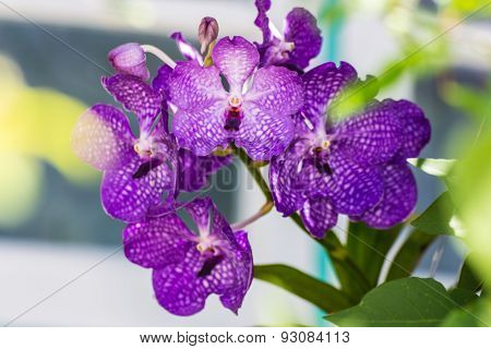 Purple Vanda Orchid, Flower