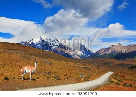 Fine summer morning in Patagonia. National park Torres del Paine. On a dirt road costs guanaco - Lama