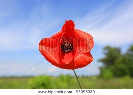 nice single red poppy flower