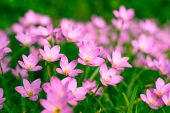 image of lily  - Beautiful Zephyranthes Lily Rain Lily Fairy Lily Little Witches in the garden - JPG