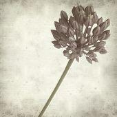 foto of leek  - textured old paper background with wild leek flowers - JPG