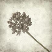 pic of leek  - textured old paper background with wild leek flowers - JPG