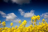 image of rape  - Yellow Canola field Rape field - JPG