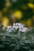 pic of geranium  - Geranium renardii on the flowerbed in the summertime - JPG