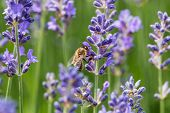 stock photo of lavender plant  - Lavender in bloom with bee close up of scented plant with insect