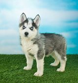stock photo of husky  - Cute little Husky puppy standing in the grass outdoors with a blue sky behind him - JPG