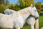 stock photo of horse head  - Pair of grey horses standing nose to tail in a a lush green field - JPG