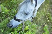stock photo of horses eating  - white horse grazing in the meadow and eating grass - JPG