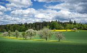 image of row trees  - Several blooming fruit trees stand in a row in a meadow - JPG