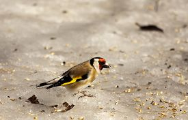 picture of goldfinches  - a goldfinch looking for food on an icy surface - JPG