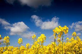 picture of rape-field  - Yellow Canola field Rape field - JPG