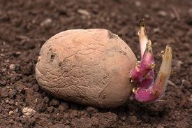 picture of germination  - germinating potato before the planting in the vegetable garden - JPG