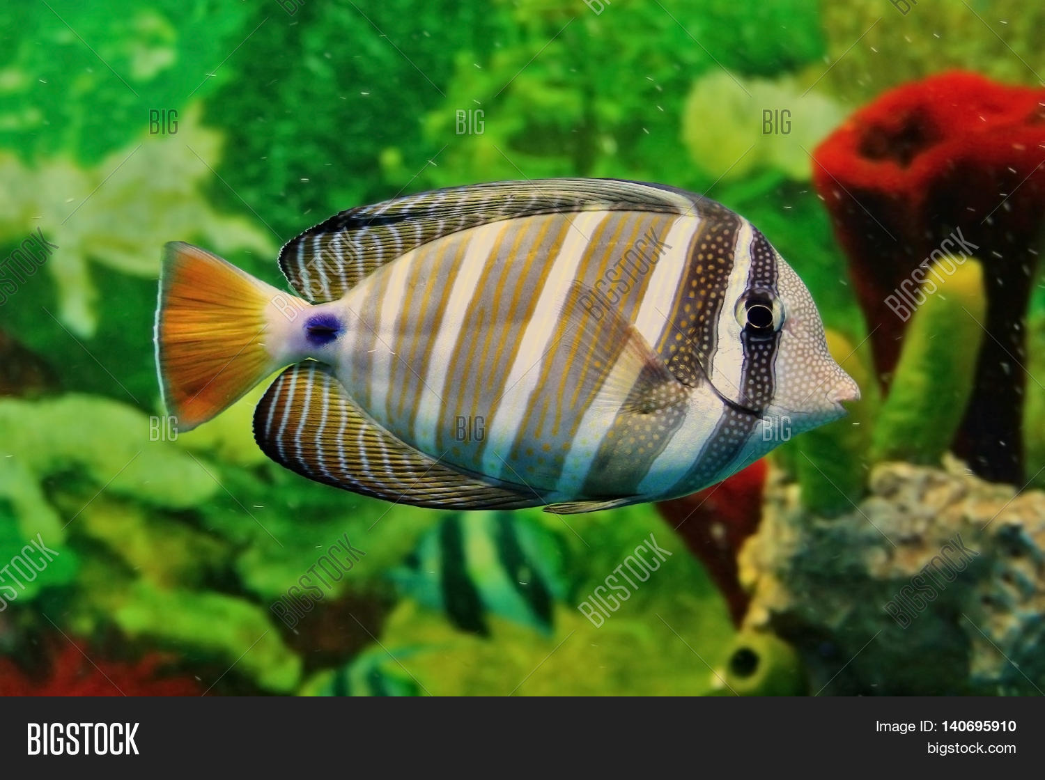 Fish for vertical aquarium - Striped Marine Fish With Grey And White Vertical Lines Yellow Tail And Blue Point At Base