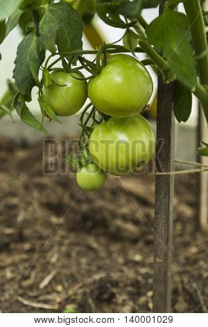 Green tomatoes on tomato tree in garden