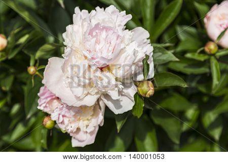 Beautiful white peonies in the garden, summer