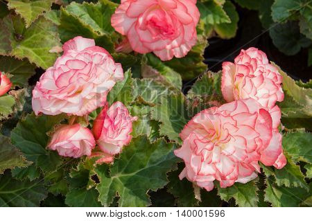 White-pink tuberous begonias in the flower bed