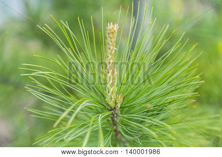 Young sprouts of pine tree in the forest