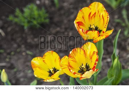 Group of orange tulips in garden in spring