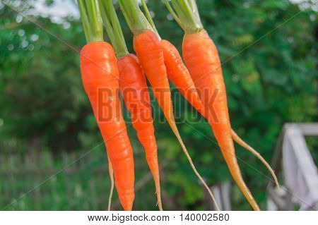 Fresh carrots with green tops copy space. Selective focus.