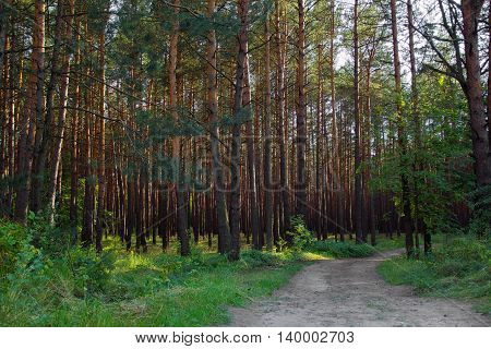 pine forest with footpath in the foreground and sunlight