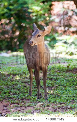 Deer That Were Fed Freely Zoo In Thailand Not In A Cage
