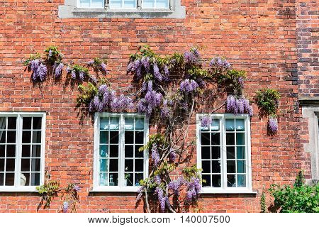 Brick wall of an old house with climbing wisteria.