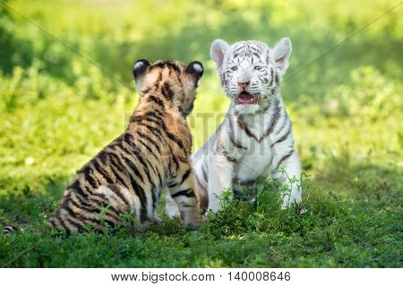 two adorable tiger cubs outdoors in summer