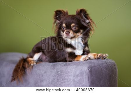 adorable brown chihuahua dog lying down indoors