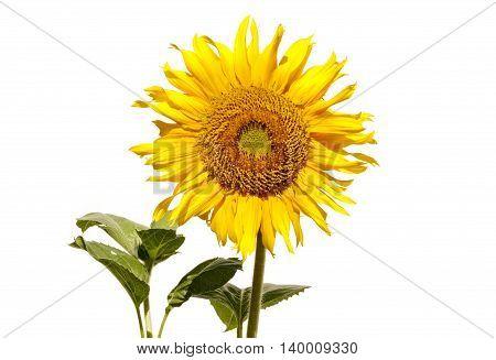 Sunflower flower , isolated on white background