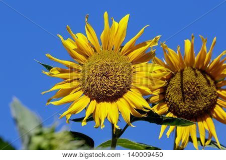 Sunflower blooming on a leaves green background