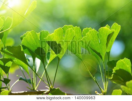 Detail branches with green leaves of Ginkgo Biloba.