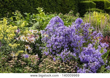 Summer flowers lilies, campanula and astrantia in a well stocked herbaceous border.