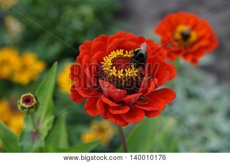 Elegant zinnia scarlet with yellow center flower close up with bumblebee.
