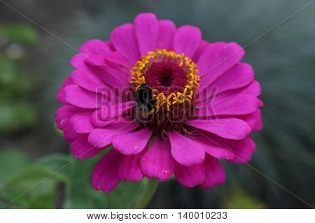Elegant zinnia pink with yellow center flower close up with bumblebee.