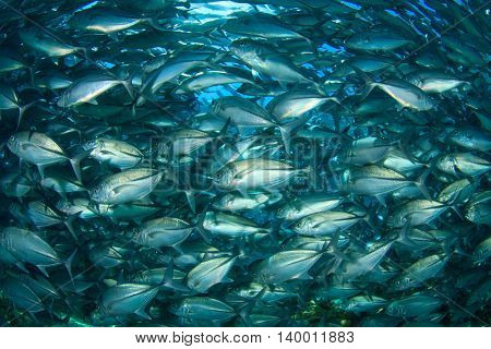 Fish (Jacks or Trevallies)