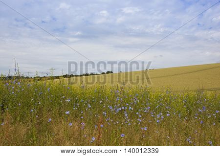 Chicory Flowers And Barley