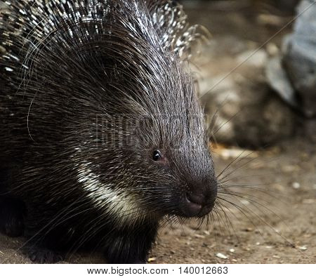A closeup of the head of a young porcupine