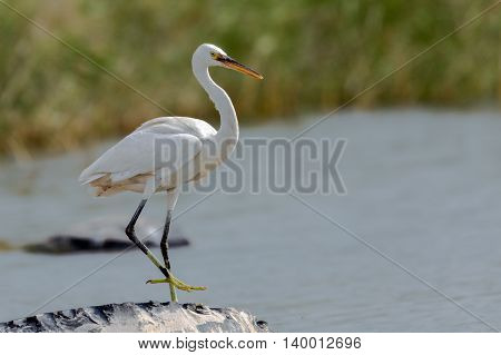Great Egret or Ardea alba in a water-logged area in Bahrain