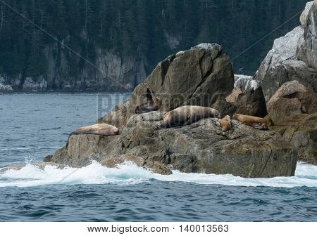 Amongst a pod of sleeping sea lions a sea lion cow points a flipper to the sky.