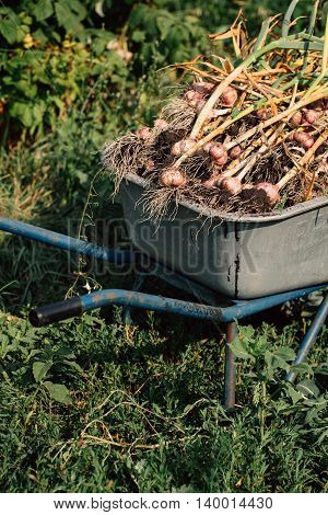Fresh Garlic In A Wheelbarrow On Background Of Green Grass