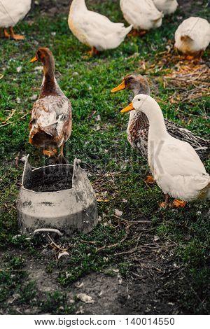 Ducks In A Village Walk On The Lawn