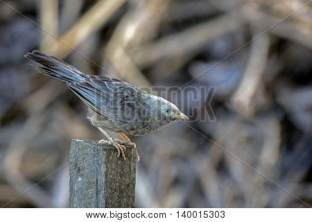 ungle Babbler or Turdoides Striata perched on a wooden plank in Marayoor village near Munnar, Kerala, India