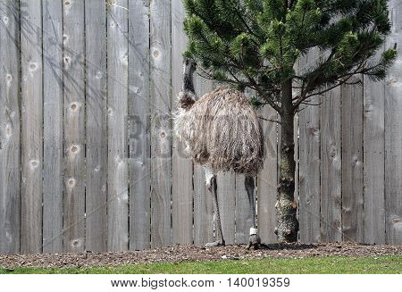 An Australian emu (Dromaius novaehollandiae) stands facing a fence.